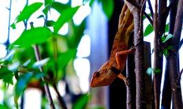 在树的橙色蜥蜴 免版税库存照片