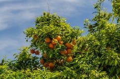 在树的水多的桔子 免版税库存图片