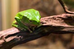 在树的池蛙 图库摄影