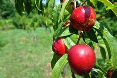 在树的油桃 免版税库存照片