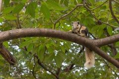 在树的泰国小灰鼠吃坚果(灰鼠,森林)的 库存照片