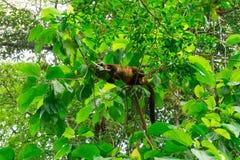 在树的浣熊睡眠 库存图片