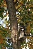 在树的浣熊/浣熊属lotor与秋天叶子 免版税库存图片