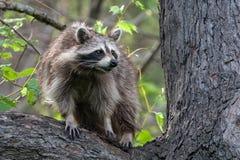 在树的浣熊- Ojibway自然保护区-温莎,安大略- 2017-05-17 库存图片