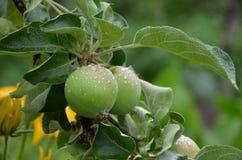 在树的湿苹果 免版税库存图片