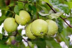 在树的湿苹果 图库摄影