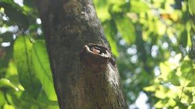 在树的滑稽的青蛙,manuel安东尼奥国立公园 库存照片