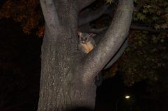 在树的澳大利亚人共同的brushtail负鼠 库存图片