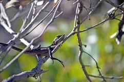 在树的澳大利亚当地Jacky龙蜥蜴 免版税库存图片