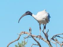 在树的澳大利亚白色朱鹭 免版税库存照片