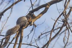 在树的灰色灰鼠在公园 免版税图库摄影