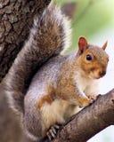 在树的灰色灰鼠 库存图片
