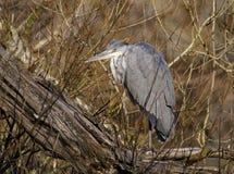 在树的灰色苍鹭 库存图片