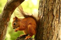 在树的灰鼠吃坚果的 免版税库存图片