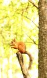 在树的灰鼠吃坚果的 免版税图库摄影