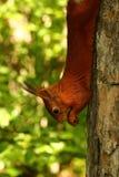 在树的灰鼠吃坚果的 免版税库存照片