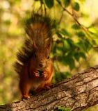 在树的灰鼠吃种子的 图库摄影