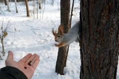 在树的灰鼠和有坚果的人的` s手 库存图片