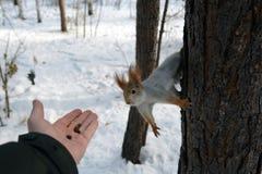 在树的灰鼠和有坚果的人的` s手 免版税库存照片