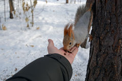 在树的灰鼠和有坚果的人的` s手 免版税库存图片