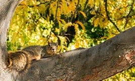 在树的灰鼠在秋天-播种的版本期间 免版税图库摄影