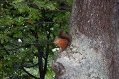 在树的灰鼠 免版税库存图片