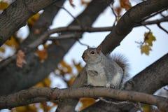 在树的灰鼠 图库摄影