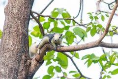 在树的灰鼠 库存图片