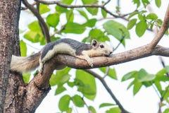 在树的灰鼠 免版税库存照片
