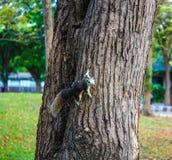 紧贴在树的灰鼠 库存图片