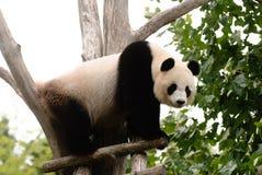 在树的熊猫 免版税库存照片