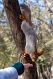 在树的爪和从少女手在手段公园,好日子,叶先图基的吃坚果举行的蓬松灰鼠, 免版税图库摄影