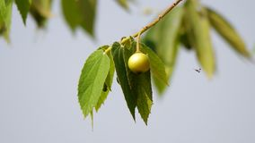 在树的牙买加樱桃果子 股票录像