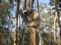 在树的狐猴 免版税图库摄影