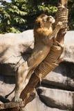 在树的狮子攀登 免版税库存图片