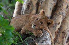 在树的狮子 免版税库存图片