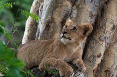 在树的狮子 免版税库存照片