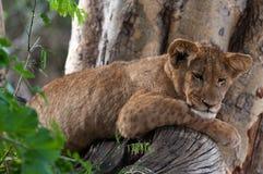 在树的狮子 库存照片