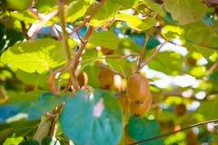 在树的猕猴桃在猕猴桃种植园在意大利 库存图片