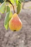 在树的甜梨 库存图片