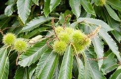 在树的生长尖绿色栗子七叶树果实关闭与地方教育局 库存照片