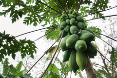 在树的番木瓜 免版税图库摄影