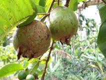 在树的番石榴/a热带水果 免版税库存图片