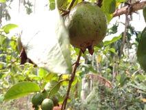 在树的番石榴/a热带水果 免版税库存照片