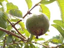 在树的番石榴/a热带水果 免版税图库摄影