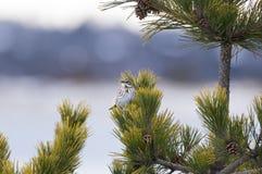 在树的白红喉刺莺的麻雀 库存图片