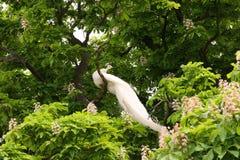 在树的白色孔雀 免版税库存照片