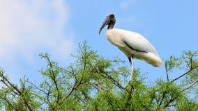 在树的白色木鹳鸟在沼泽地 免版税库存图片