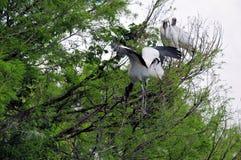 在树的白色木鹳鸟在沼泽地 库存照片