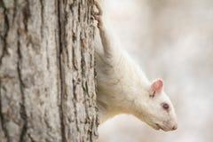 在树的白色灰鼠 免版税库存照片